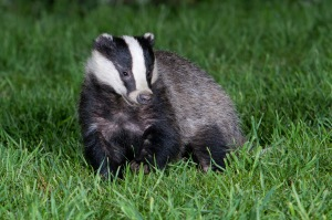 badger 1 Ross